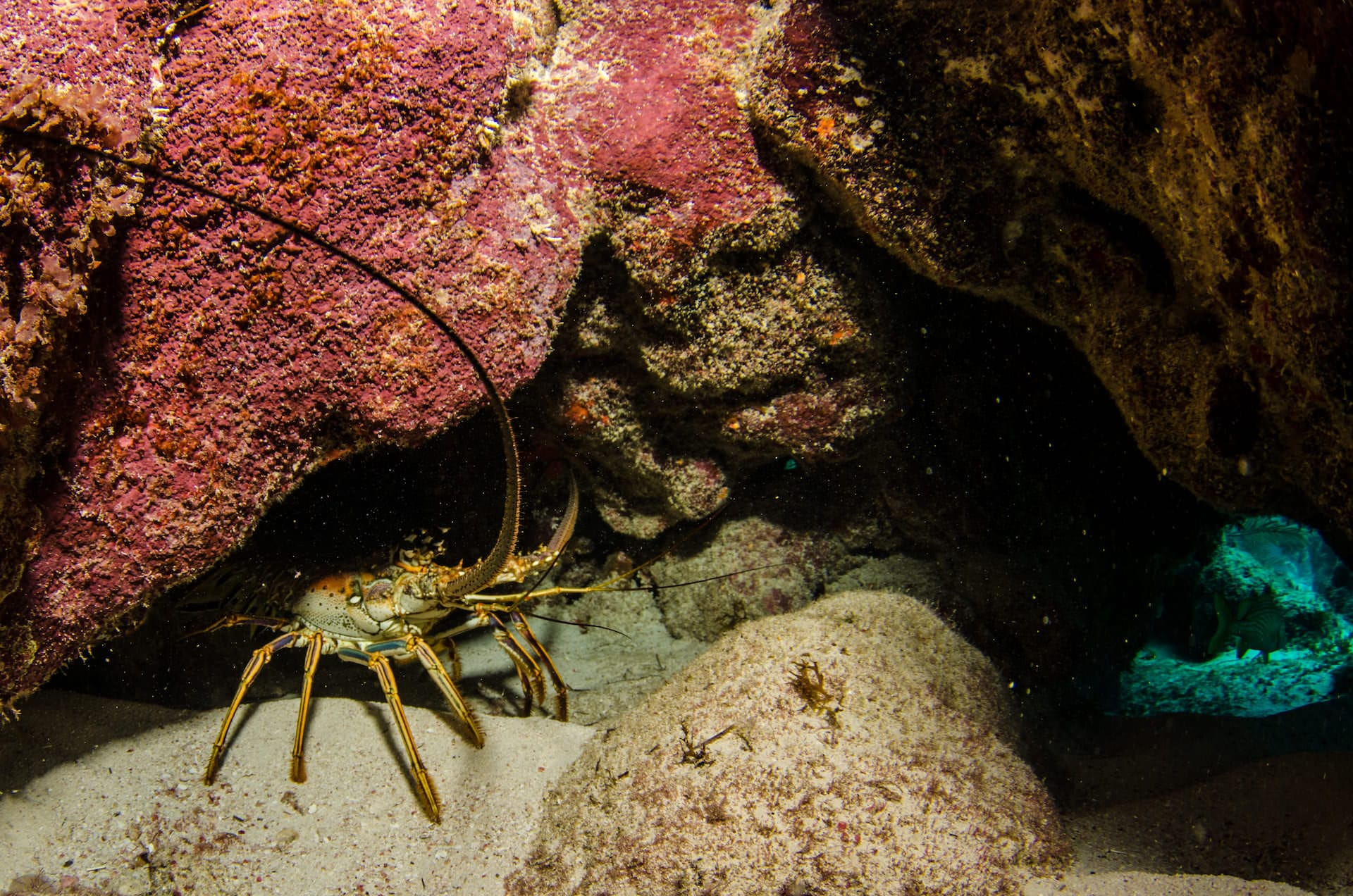 lobster hiding under a rock