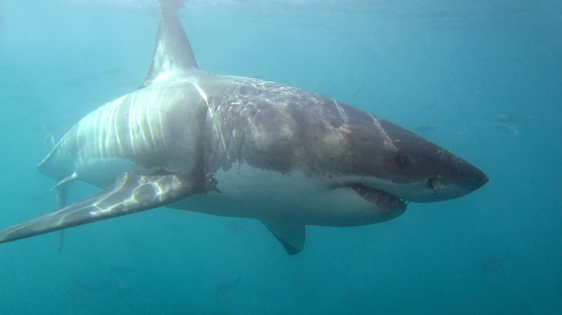 big sharks when spearfishing deep water